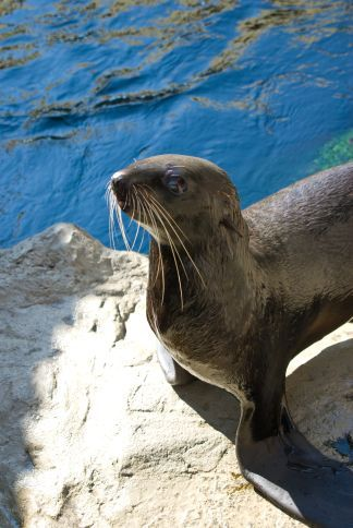 Northern Fur Seal at the new Marine Mammal Center at the New England Aquarium; Free to the Public along the Harborwalk