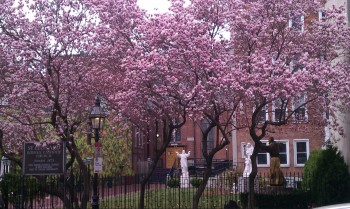 Magnolias Blooming at St. Leonards - March 2012 by David Archer