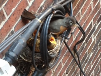 Robins Nest on Snow Hill Street by Sue Benveniste - July 2012