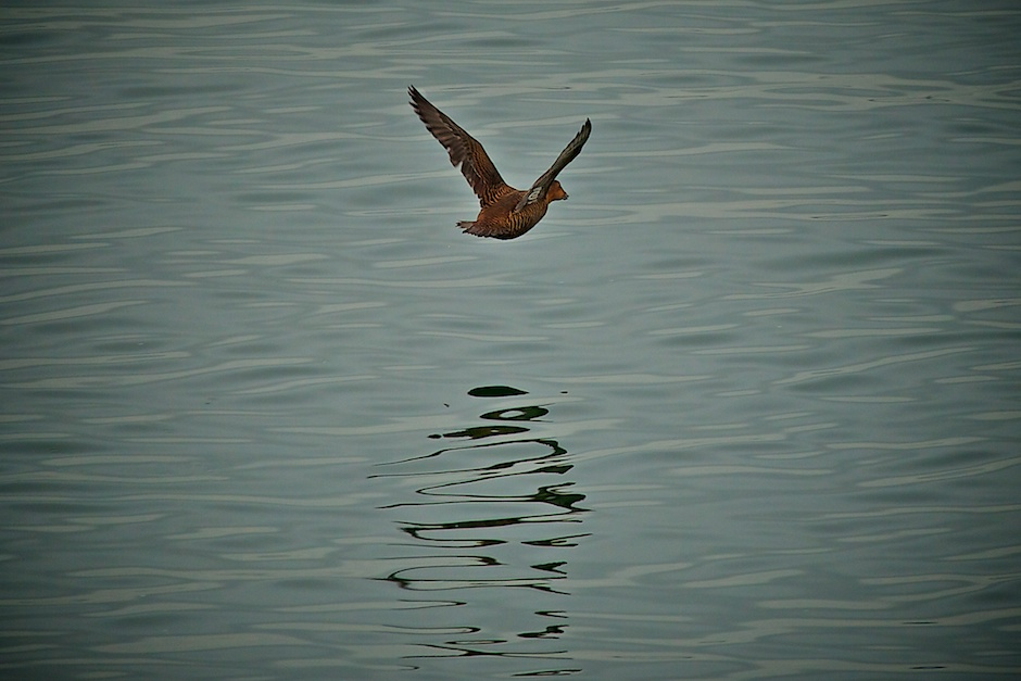 Water Bird in Flight