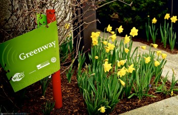Daffodil Day on Greenway with Sign