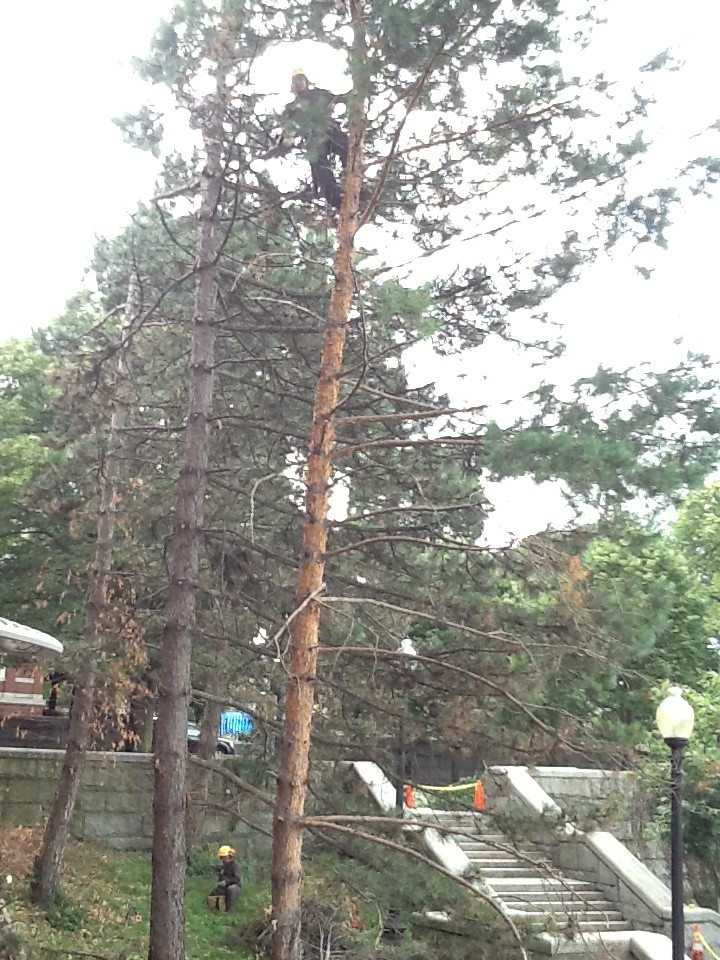 Copp 39 s hill terrace gets a tree trim for Terrace trees