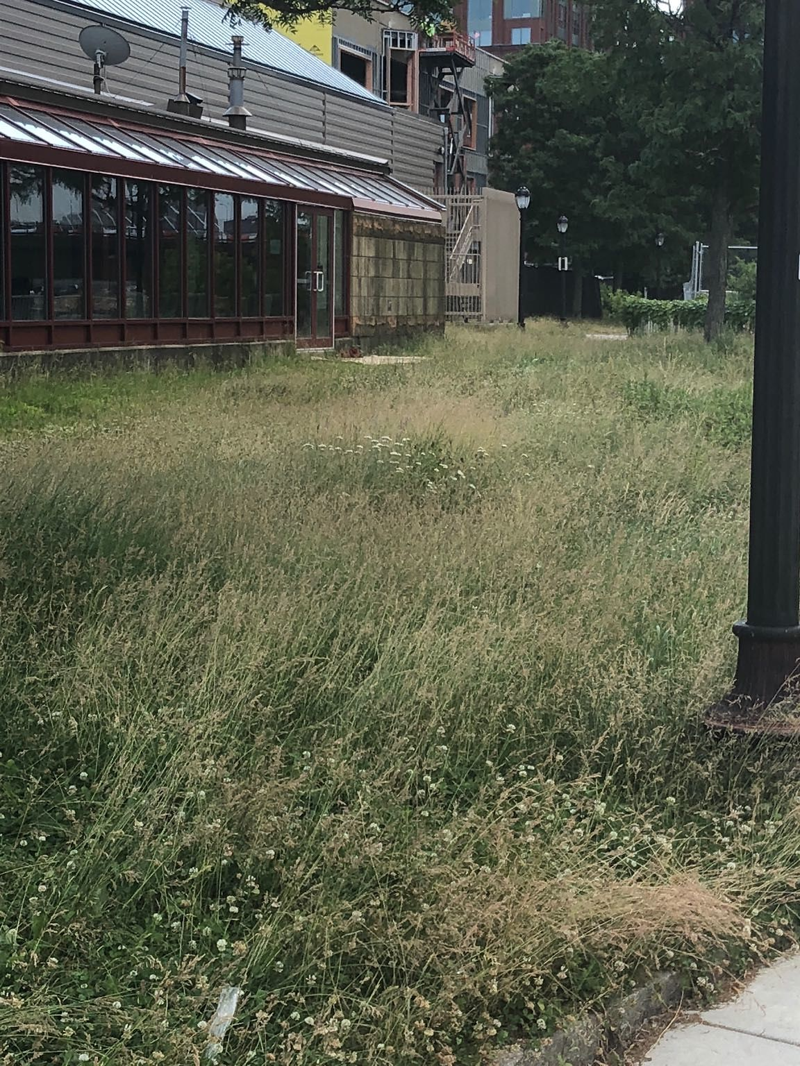The Lawn Outside Of The North End Skating Rink Has Overgrown.